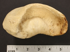 Whale Cochlea Ear Bone
